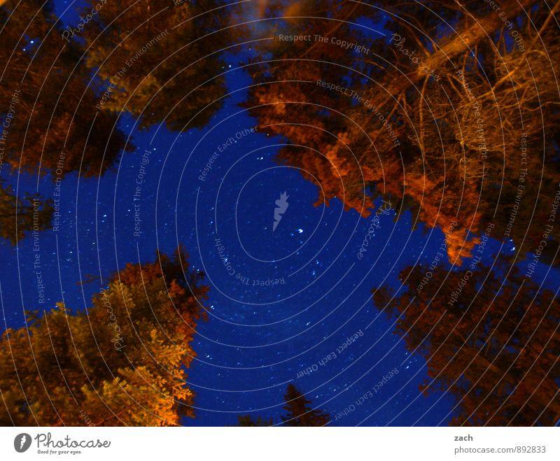 Major Tom Umwelt Natur Landschaft Wolkenloser Himmel Nachthimmel Stern Pflanze Baum Nadelbaum Nadelwald Wald Holz dunkel blau Sternenhimmel Romantik romantisch