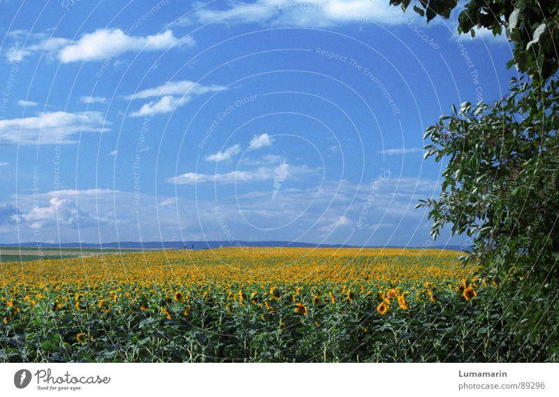 friendly view II Sommer Natur Landschaft Himmel Horizont Blume Feld blau gelb grün Sonnenblume Farbfoto Außenaufnahme Menschenleer Textfreiraum oben Tag