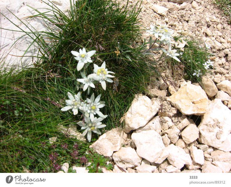 Edelweiss im Stein Natur Blume Wiese Gras Berge u. Gebirge Landschaft edel