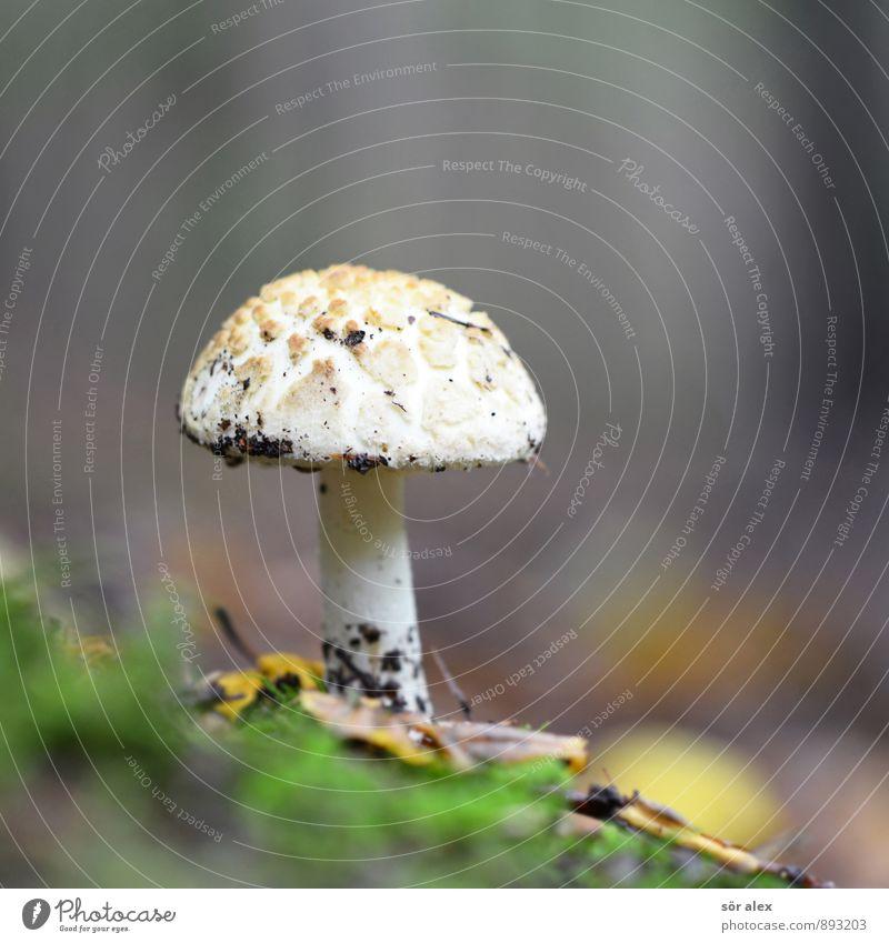 Pilzkopf Umwelt Natur Pflanze Pilzhut Wald Waldboden nachhaltig Einsamkeit 1 Farbfoto Außenaufnahme Menschenleer Textfreiraum links Textfreiraum rechts