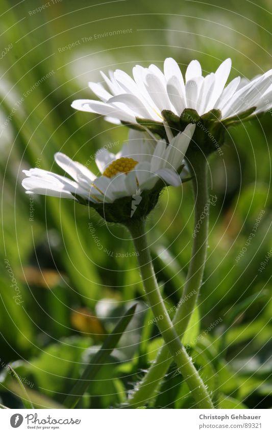 Gänseblümchen_01 Blume Frühling Sommer Zusammensein Wiese grün Vertrauen Makroaufnahme Nahaufnahme Liebe Natur