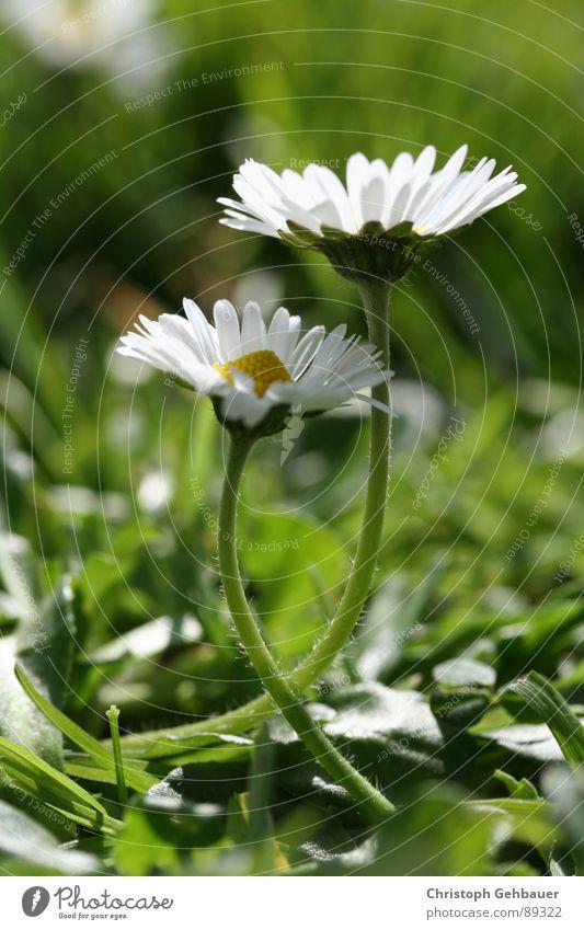 Gänseblümchen_02 Blume Frühling Sommer Zusammensein Wiese grün Vertrauen Liebe Natur Makroaufnahme