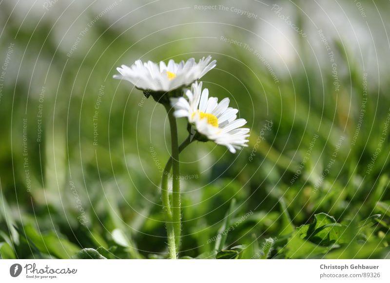 Gänseblümchen_03 Blume Frühling Sommer Zusammensein Wiese grün Vertrauen Liebe Makroaufnahme Nahaufnahme Natur