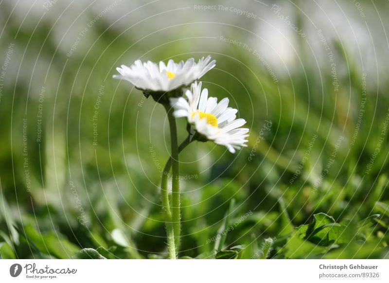 Gänseblümchen_03 Natur Blume grün Sommer Liebe Wiese Frühling Zusammensein Vertrauen