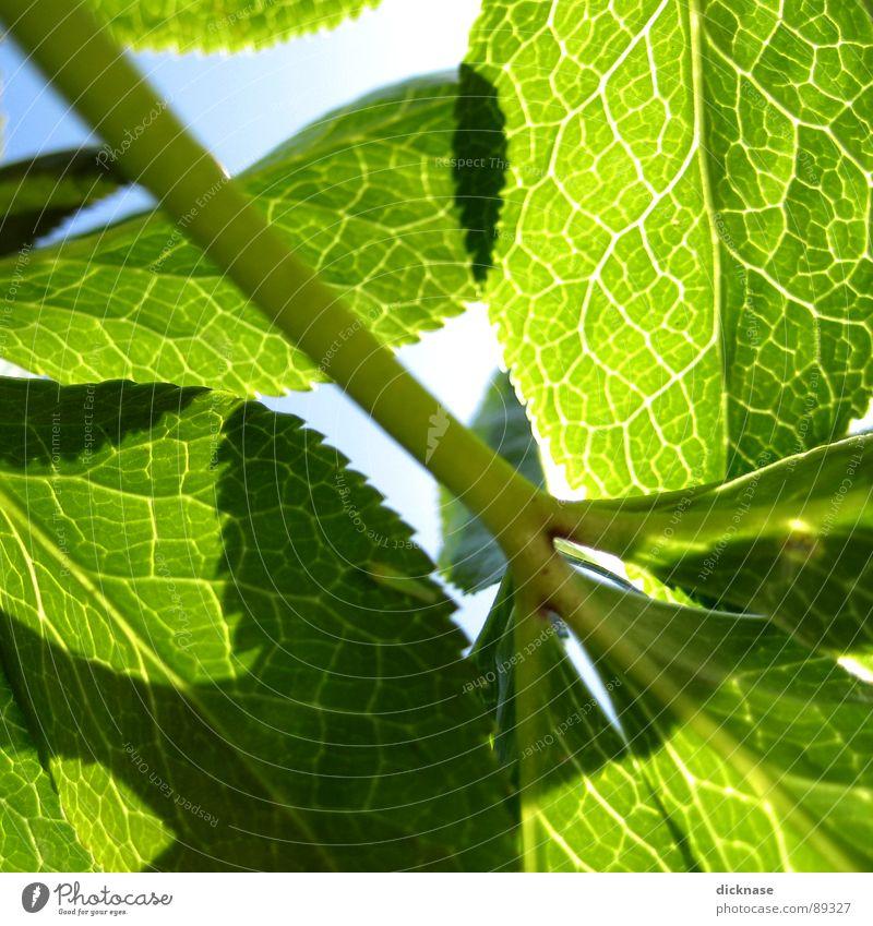 Frühlingsblätter vol.01 grün Sommer Beleuchtung Gefäße Natur überschneiden Sonne gegenslicht...himmel blau...to be continued...
