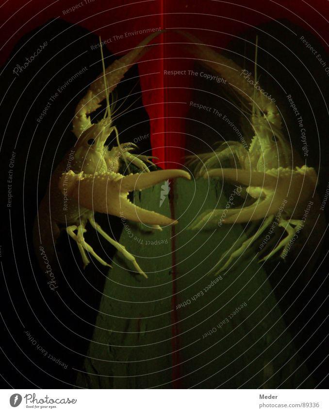 Spieglein, Spieglein an der Wand … Wasser schön rot schwarz Tier dunkel Angst klein Fisch Körperhaltung Klettern Spiegel außergewöhnlich Zoo skurril Schifffahrt