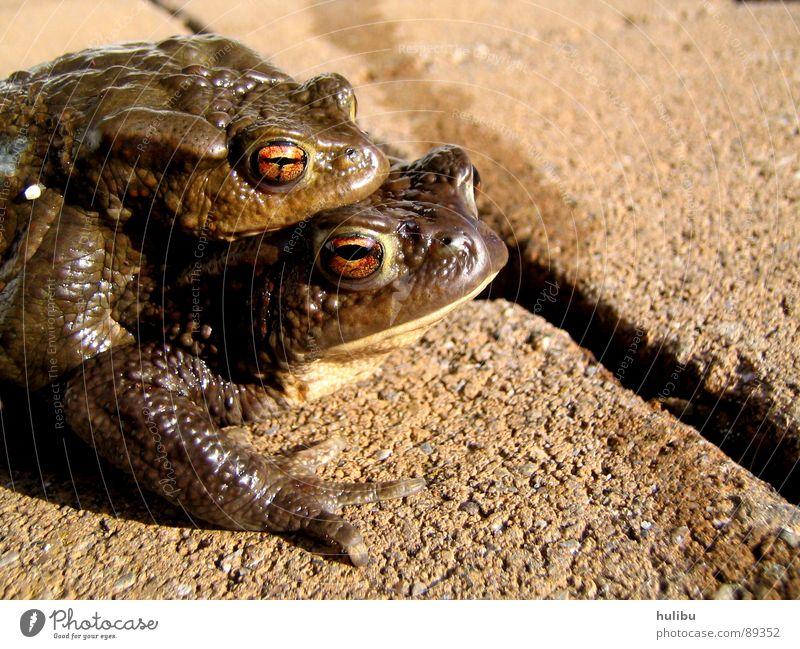 Doppelpack Tier braun feucht süß Quaken hüpfen springen Teich See Frosch Kröte huckepack Stein eckel Auge hulibu Küste