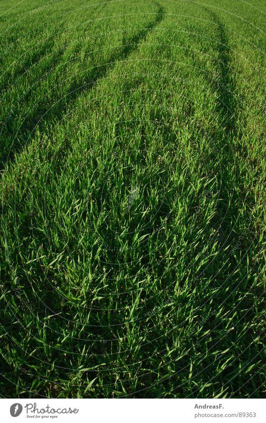 Grüner wirds nicht. grün Feld Fußweg saftig frisch Sommer Frühling Weizen Maisfeld Kornfeld Spuren Landwirtschaft Gras Abendsonne Getreide Pflanze Erde landluft