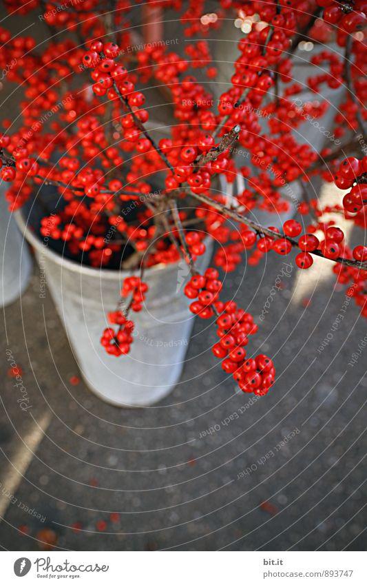 Ilex-Verticillata Pflanze Weihnachten & Advent schön rot Winter Herbst Stil Glück Feste & Feiern Stimmung Gesundheitswesen Lifestyle Frucht Freizeit & Hobby