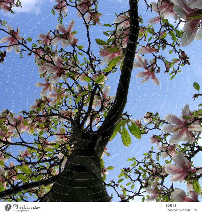 (ICH - DU + ER) / (SIE) = ES Pflanze Geäst Wachstum Frühling austreiben sprießen Blüte Park Wolken grün rot rosa weiß Magnoliengewächse unten Zweige u. Äste