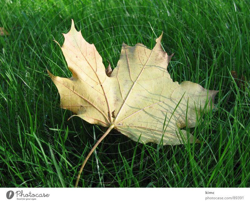 goldiges herbstblatt Wiese grün Blatt Ahorn Herbst Jahreszeiten Baum Rasen Natur Ast