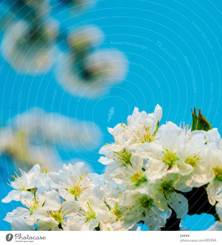 Vorfreude Fertilisation Biene Blüte Blütenblatt Blütenstempel Frühling himmelblau Kirschblüten Laubbaum Rosengewächse Sommer Unschärfe Vergänglichkeit