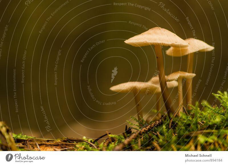 Dachpilze Umwelt Natur Wald frisch klein natürlich dünn ruhig rein Pilz schmal strecken Farbfoto Außenaufnahme Nahaufnahme Menschenleer Textfreiraum links Abend