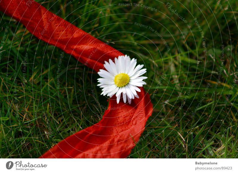 Hilfe, das Gänseblümchen blutet! weiß Blume grün rot Sommer gelb Frühling Garten Mitte Schnur Blut Wiesenblume