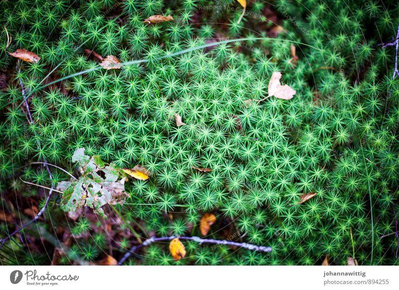 stjärna Umwelt Natur Pflanze Erde Herbst Sträucher Moos Wildpflanze Wald Moor Sumpf grün Stern außergewöhnlich wandern Wegrand Schweden Außenaufnahme Licht