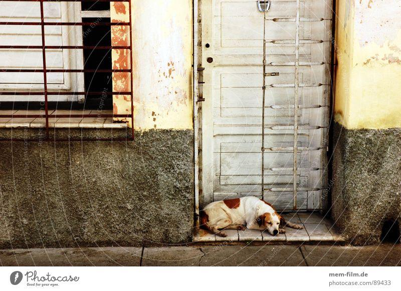 powernapping ruhig Straße Erholung Hund Tür Sicherheit Kuba Säugetier Haustier friedlich bewachen Mittagsschlaf Haushund Geschnarche Mittagssonne