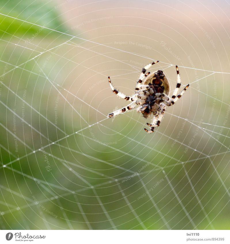 Spinne bei der Arbeit Natur schön grün weiß Sommer Tier schwarz Umwelt gelb Bewegung Wiese natürlich grau klein außergewöhnlich braun