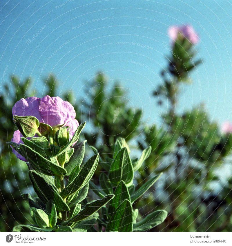 Wildsommerwuchs Blume Pflanze Blüte Frühling Sommer Südfrankreich Salbei grün rosa Blühend blau Heilpflanzen