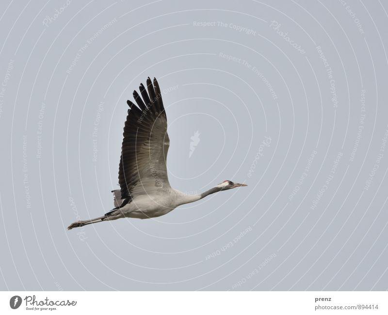 Kranich Umwelt Natur Tier Herbst Wetter Wildtier Vogel 1 grau schwarz Zugvogel fliegen fliegend Storchendorf Linum Himmel Farbfoto Außenaufnahme Menschenleer