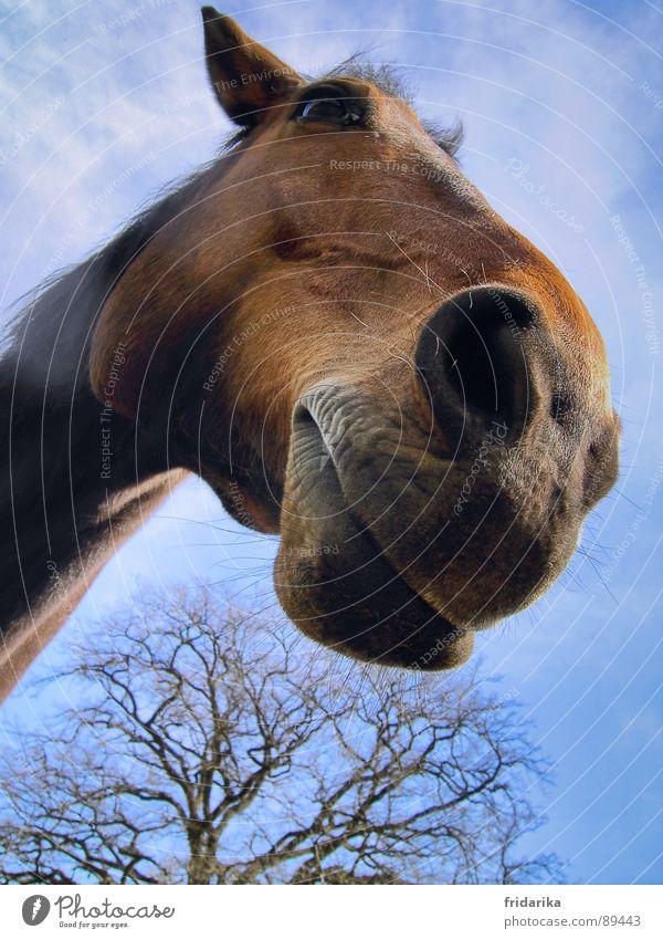 das hauspferd Natur blau Baum Tier braun Pferd Säugetier Maul Nutztier Nüstern Pferdekopf