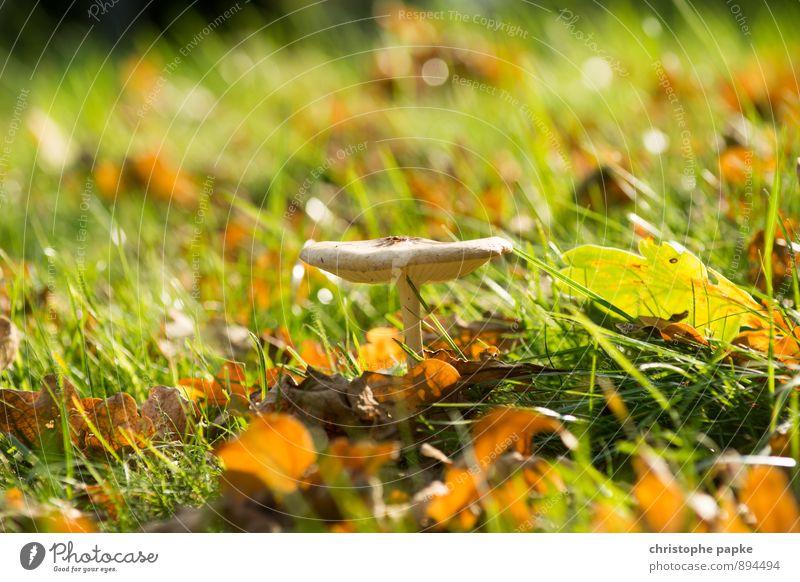 alter schmarotzer Lebensmittel Umwelt Natur Pflanze Herbst Garten Park Wiese Feld Wald stehen Wachstum Pilz Farbfoto Außenaufnahme Nahaufnahme Menschenleer