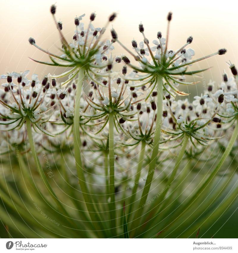 Naturschönheit... Pflanze grün weiß Wiese Blüte natürlich frisch Duft Grünpflanze