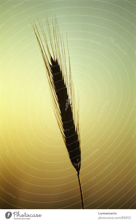 Allein keine von vielen sein Himmel Sommer Einsamkeit Getreide Stengel Halm Korn Abenddämmerung einzeln Ähren filigran vereinzelt
