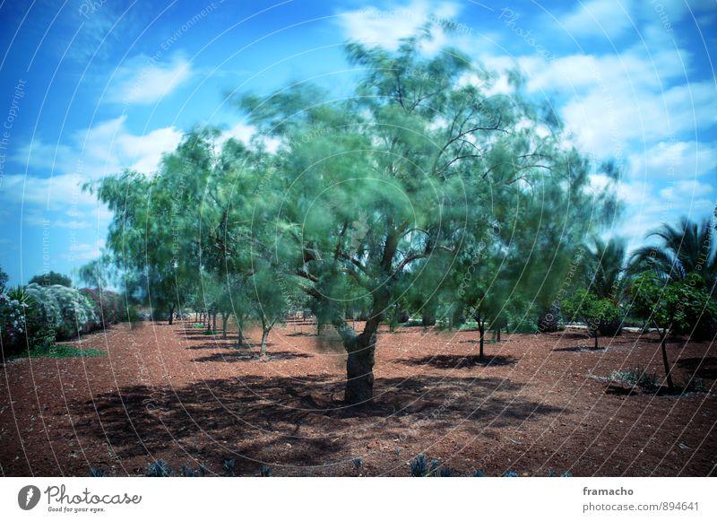 swinging olive Umwelt Natur Landschaft Pflanze Erde Himmel Wolken Sonnenlicht Sommer Wetter Schönes Wetter Wind Baum Sträucher Olivenbaum Palme Garten Feld Oase