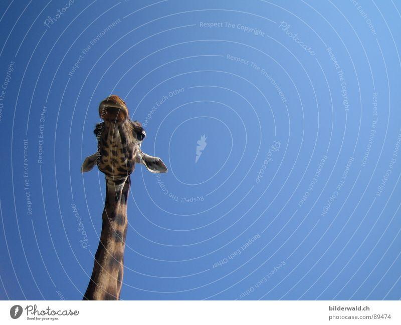 Überblick Himmel Einsamkeit Tier Freiheit Fröhlichkeit Aussicht Afrika Fell Zoo Hals Säugetier Knie Giraffe