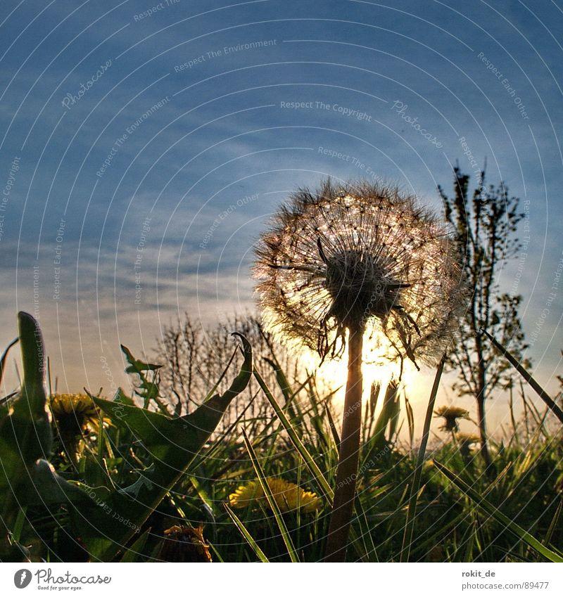 Pusteblume No. I Löwenzahn Sonnenuntergang Abend blasen Gras gelb Horizont Kinderspiel glänzend Freude Vergänglichkeit schlafen gehen gün Himmel