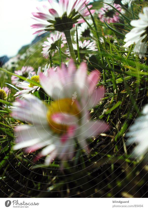 approaching bumblebee - the return Gänseblümchen Wiese tief Gras Blume grün rosa weiß Baum nah Pflanze Natur Frühling Makroaufnahme Nahaufnahme Wildtier meadow