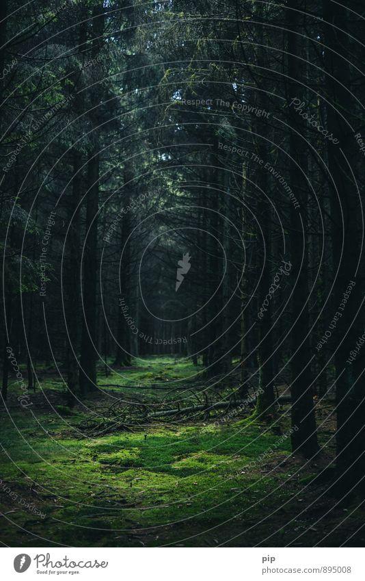 tatort Natur grün Baum ruhig dunkel Wald Umwelt Angst gefährlich bedrohlich geheimnisvoll gruselig Moos Tanne abgelegen feucht