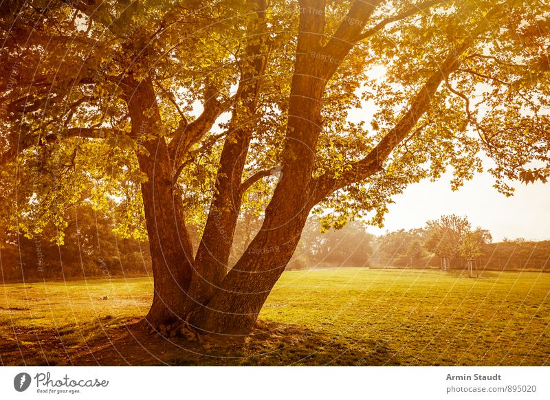 Baum - Herbst Natur Landschaft Pflanze Himmel Sonnenaufgang Sonnenuntergang Sonnenlicht Sommer Schönes Wetter Park Wiese Wald Berlin ästhetisch groß schön