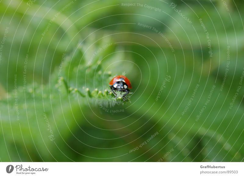 Marienkäfer im Grünen Insekt Tier grün Glücksbringer Sommer Natur Makroaufnahme Blattlausfresser