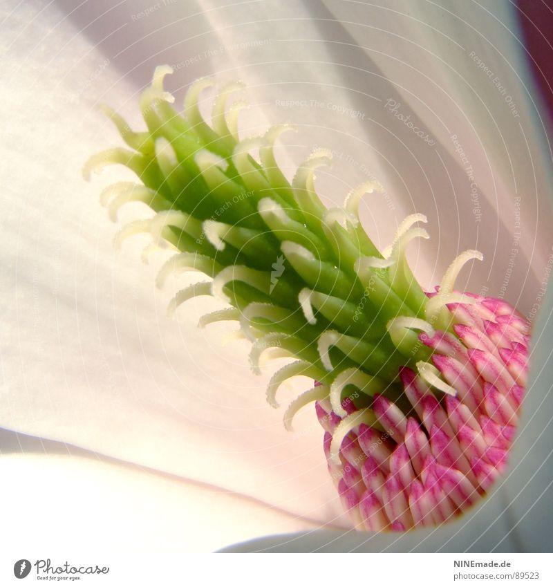 Miniananas? III weiß Sonne grün Blüte Frühling Beleuchtung rosa nah Blühend Pollen Täuschung stachelig Stempel Blütenblatt Karlsruhe interessant