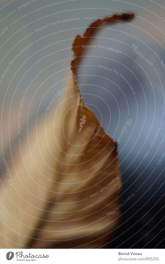Kante Herbst Pflanze Blatt schön blau braun Blattadern Kurve abstrakt Am Rand Biegung weich trocken vertrocknet Leben Jahreszeiten Spannung Linie Umrisslinie