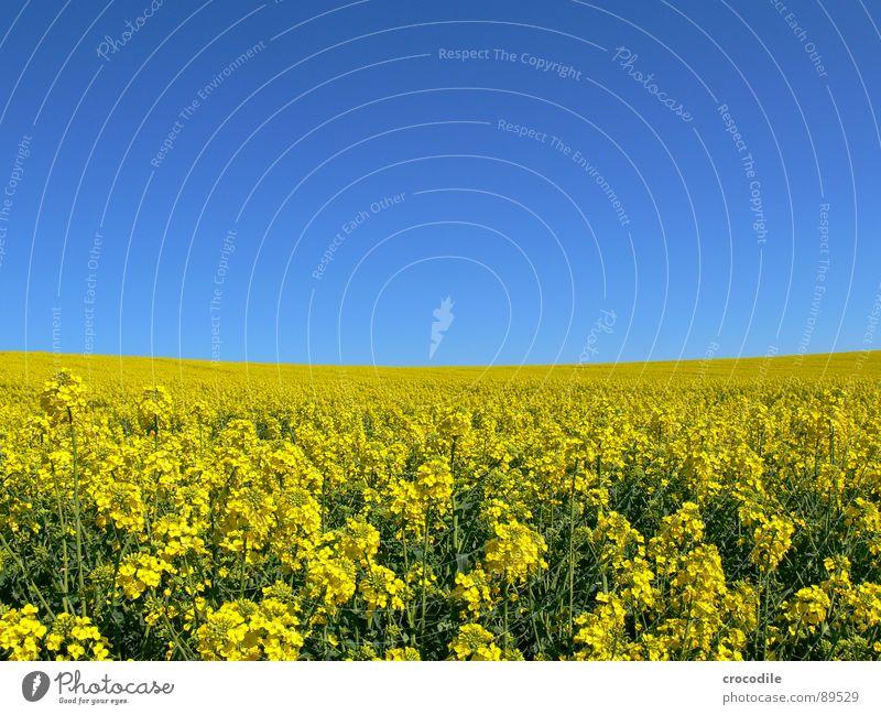 raps #2 Raps Feld Frühling ökologisch Diesel Kohlendioxid Klimawandel gelb Streifen Stengel Sauerstoff Landwirtschaft Blattgrün Bioprodukte Blühend Himmel