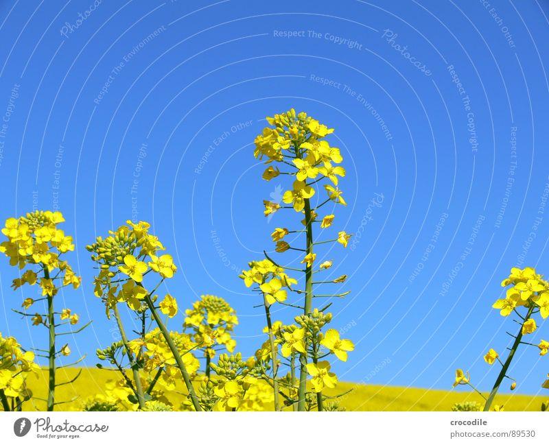 raps #3 Himmel gelb Frühling Feld Streifen Stengel Blühend Landwirtschaft Schönes Wetter ökologisch Bioprodukte Produktion Raps Klimawandel Traktor Kohlendioxid