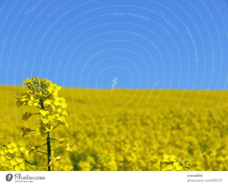 raps #4 Himmel gelb Frühling Feld Streifen Stengel Blühend Landwirtschaft Schönes Wetter ökologisch Bioprodukte Produktion Raps Klimawandel Traktor Kohlendioxid