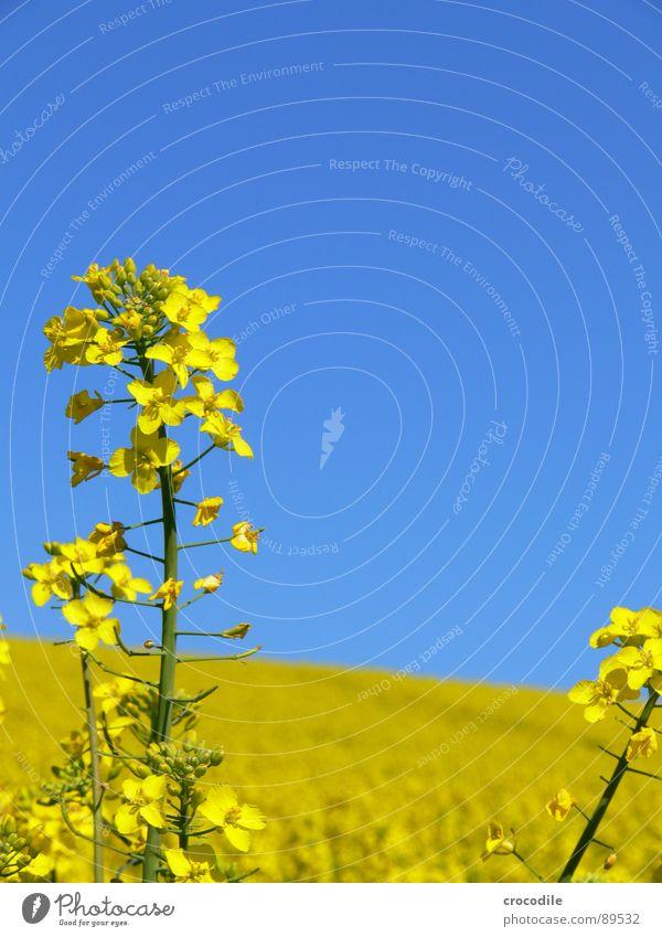 raps #5 Himmel gelb Frühling Feld Streifen Stengel Blühend Landwirtschaft Schönes Wetter ökologisch Bioprodukte Produktion Raps Klimawandel Traktor Kohlendioxid