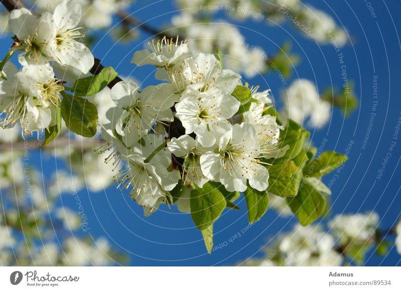 Spring in bloom springen Himmel weiß Frühling Fruhling flowers Blumchen leaves Blatten sky Blute white blue Blau green Grun