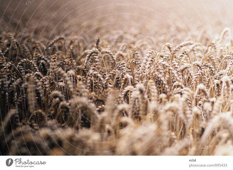 Sommer Lebensmittel Getreide Ernährung Umwelt Natur Pflanze Nutzpflanze Weizen Feld braun gold Brot sommerlich Landwirtschaft Feldarbeit Farbfoto Außenaufnahme