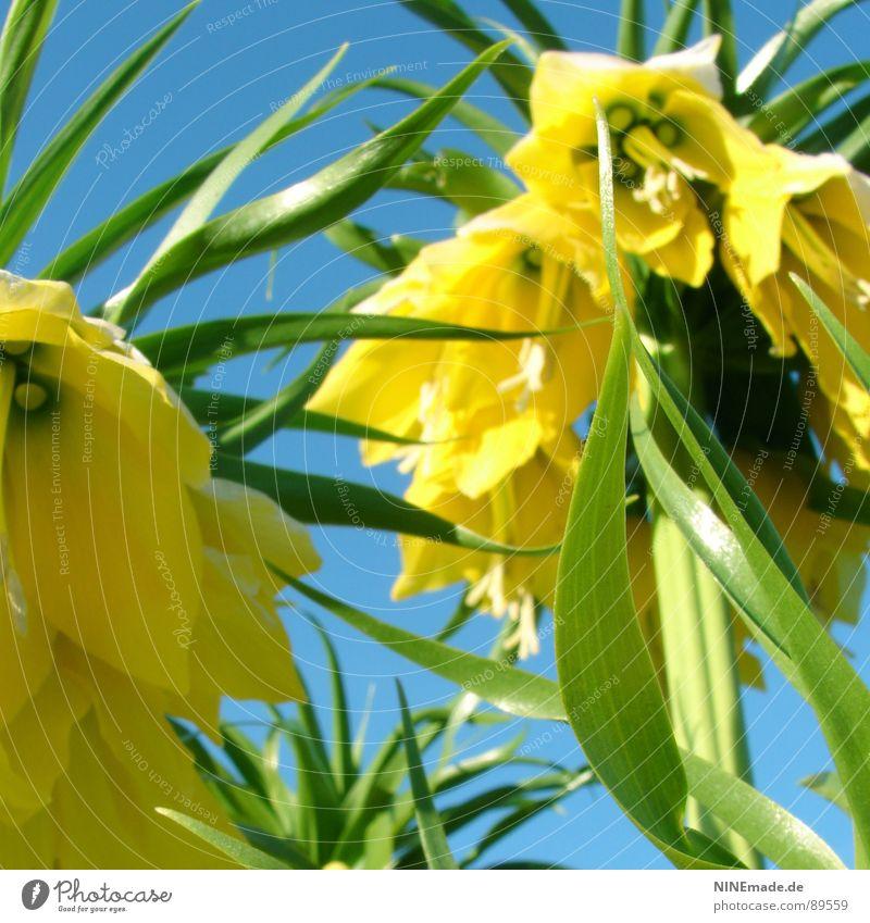 Glockenblümelie I grün blau schön Blume Sommer gelb Farbe Frühling Garten Wärme Zufriedenheit frisch Perspektive Fröhlichkeit Physik heiß