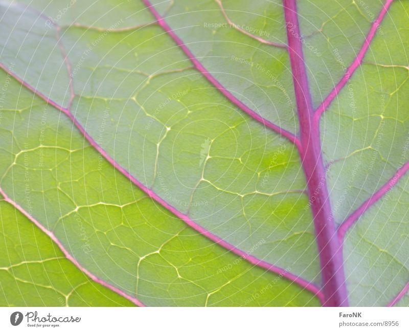 Rotkohl Blatt Pflanze grün