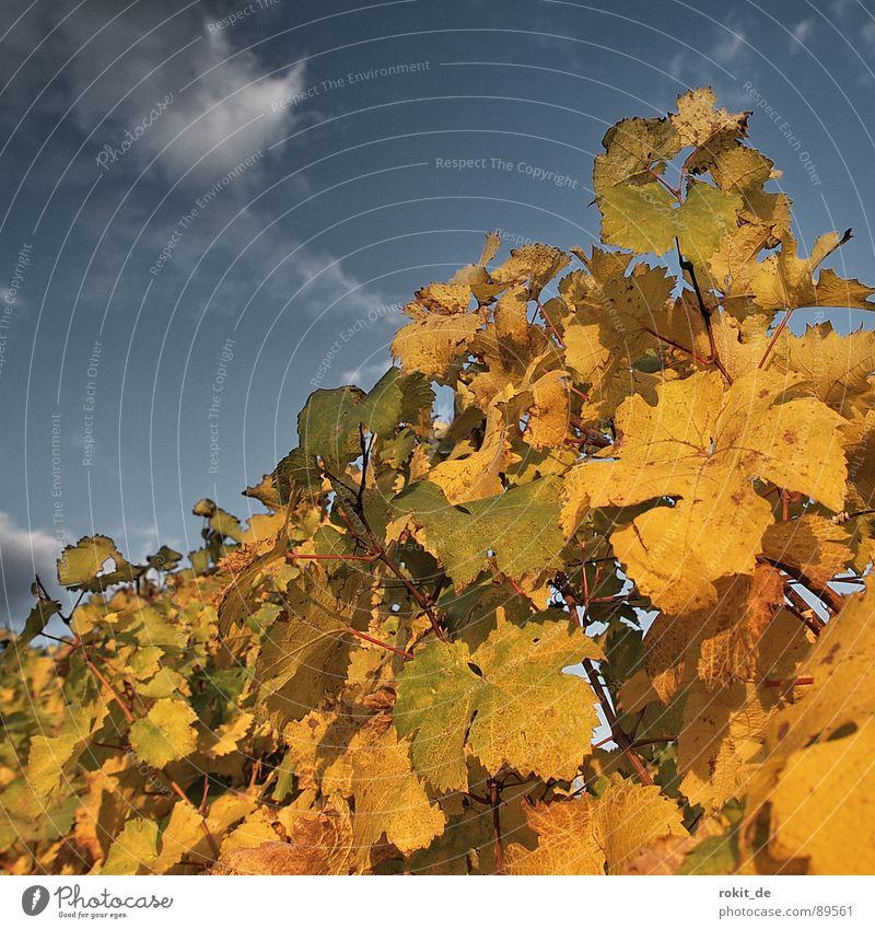 Abends im Weinberg Herbst Sonnenuntergang Rheingau Blatt hellgrün gelb Wolken Stock Weinblatt Romantik Alkohol gold blau Himmel goldener herbst reblaus rebzeile