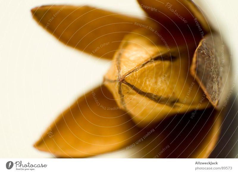 Sputnik 0815 schön Blume Pflanze Herbst braun Dekoration & Verzierung Dinge trocken Mischung UFO getrocknet bräunlich Trockenblume Vor hellem Hintergrund