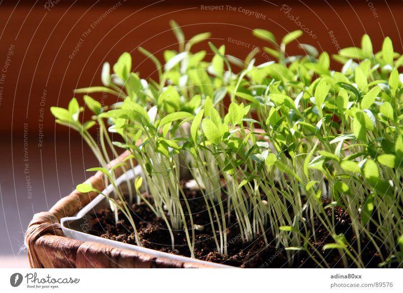 gemeinsam wachsen... Petersilie Frühling Kräuter & Gewürze klein Zärtlichkeiten Keim säen Wachstum grün Geburt Tod Neuanfang Leben Aussaat produktiv