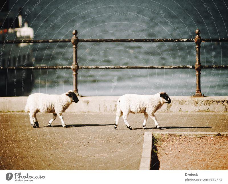 Laufwolle Tier Nutztier Fell Schaf 2 Tierpaar gehen laufen wandern Wolle Schafswolle Farbfoto Außenaufnahme Tag