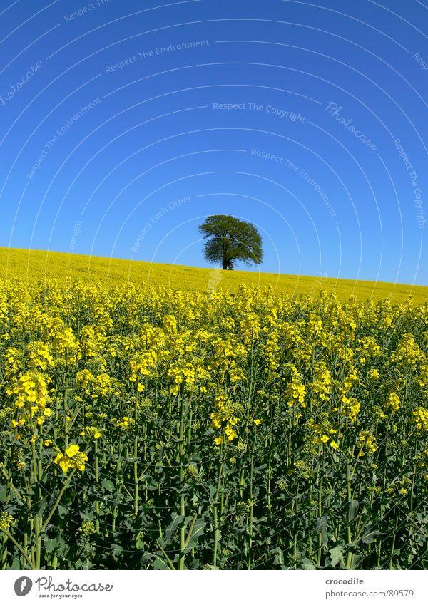 raps #6 Himmel Baum Einsamkeit gelb Frühling Feld Streifen Stengel Blühend Landwirtschaft Baumstamm Schönes Wetter ökologisch Bioprodukte Produktion Raps