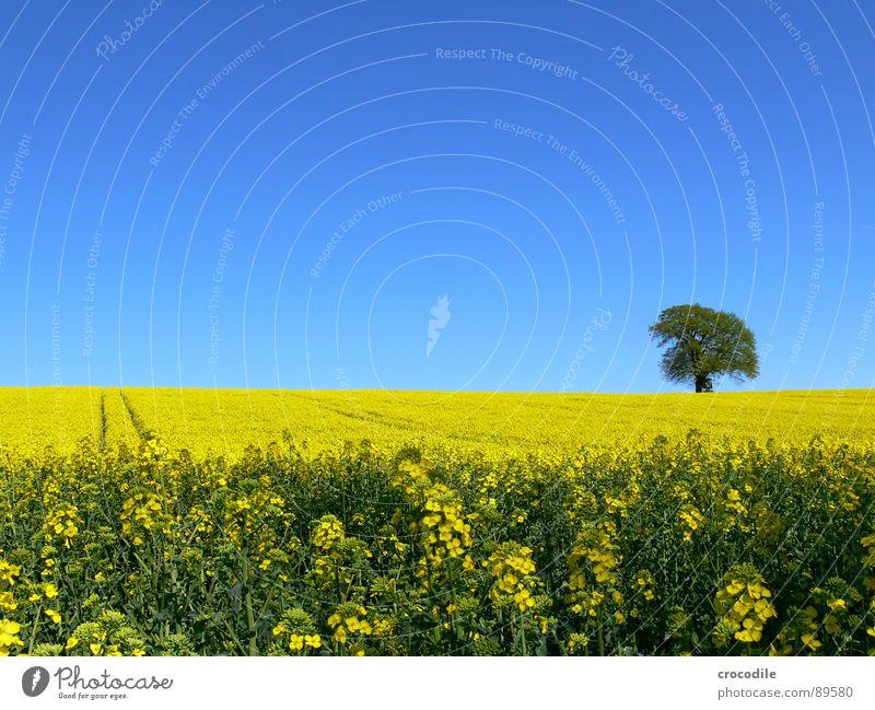 raps #7 Raps Feld Frühling ökologisch Diesel Kohlendioxid Klimawandel gelb Streifen Stengel Sauerstoff Blattgrün Baum Einsamkeit Bioprodukte Blühend Himmel